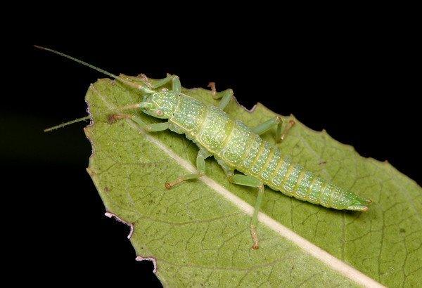 Канадские ученые изучали палочных насекомых вида Timema, которые живут